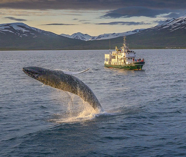excursion-ballenas-akureyri