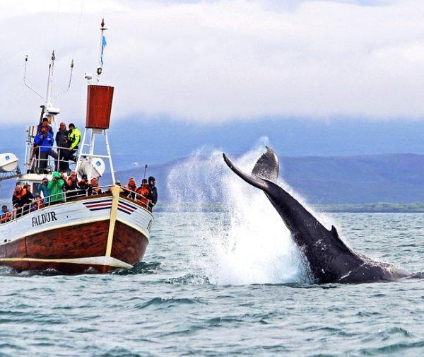 excursion-ballenas-husavik